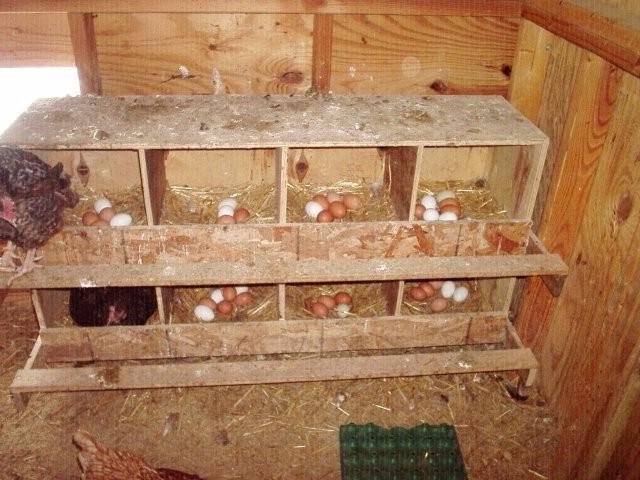 Куры клюют яйца: что делать