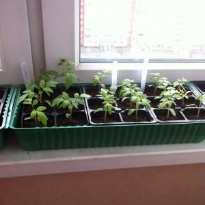 Когда сажать томаты на рассаду в 2017 году по лунному календарю?