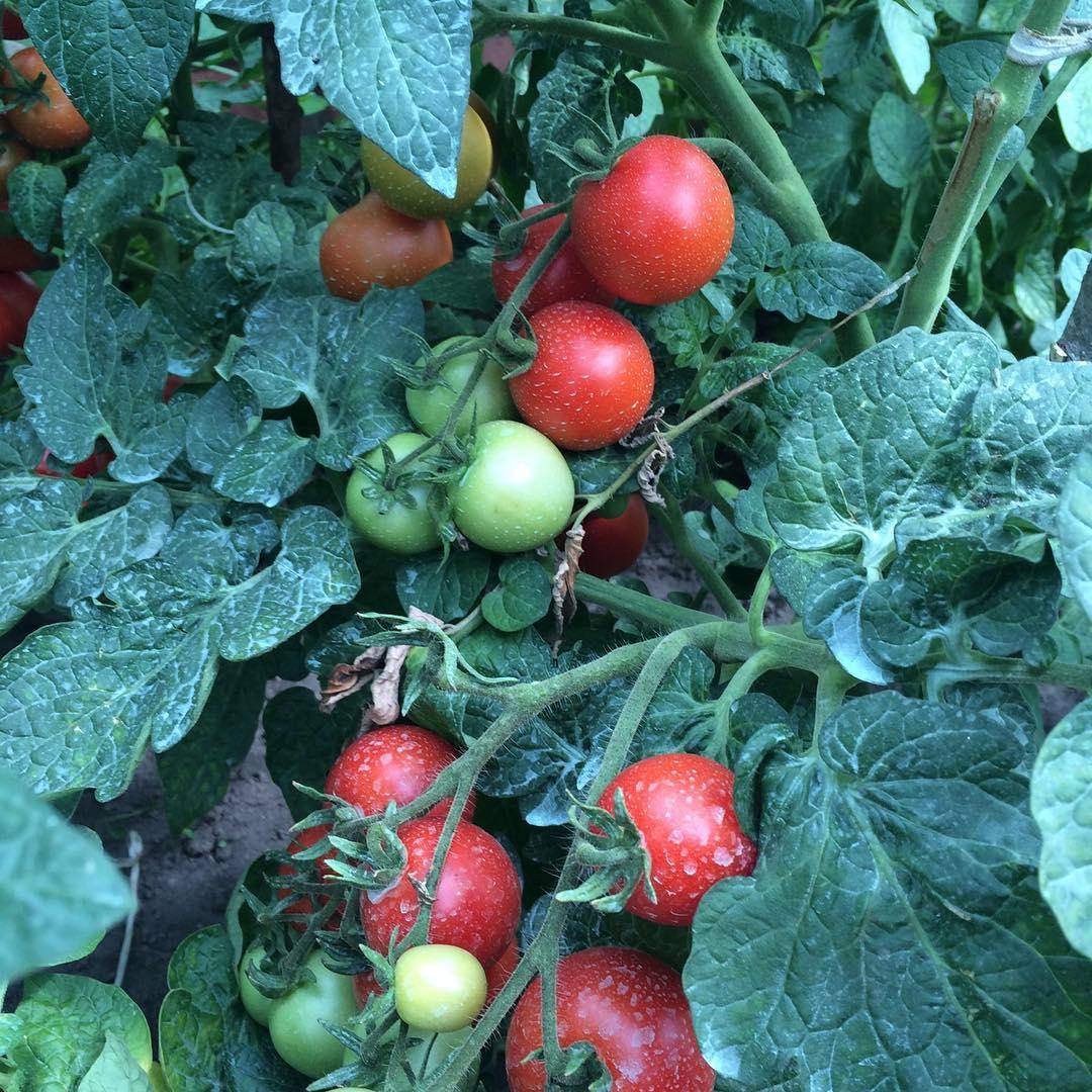 Посадка томатов на рассаду в 2017 году по лунному календарю.