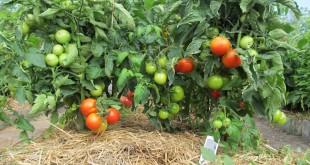 Посадка помидор на рассаду в 2017 году