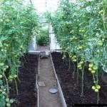 Уход за томатами в теплице из поликарбоната.