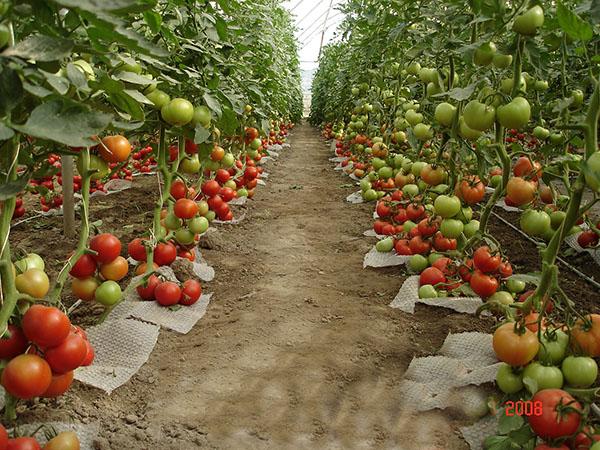 Уход за томатами в теплице из поликарбоната в стадии плодоношения.