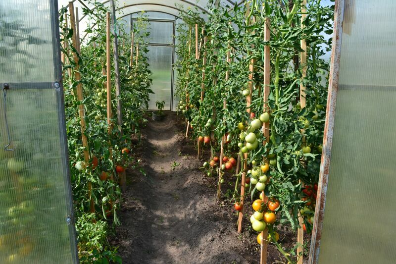 Уход за томатами после высадки в теплицу.