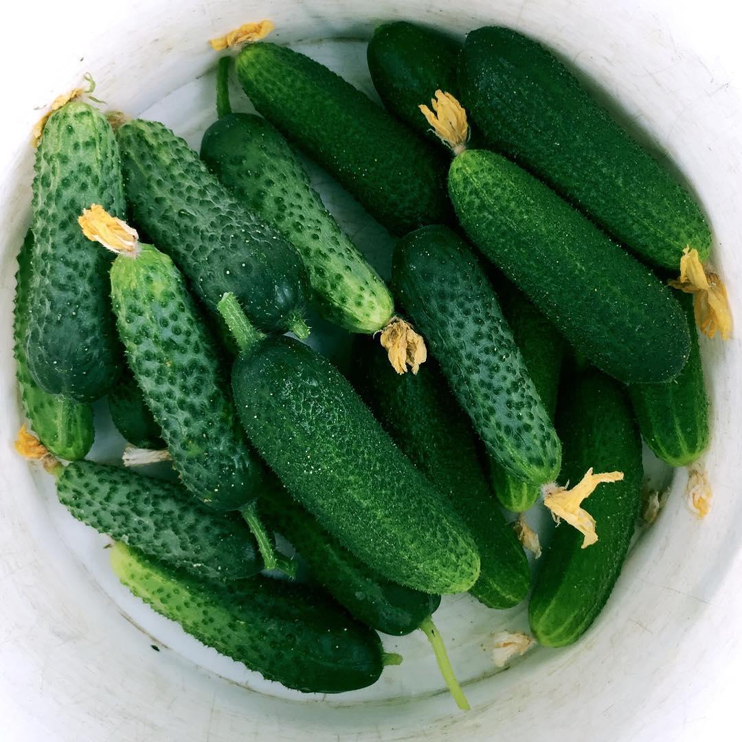Подкормка огурцов в открытом грунте