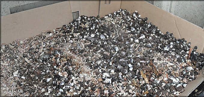 Подкормка огурцов в открытом грунте куриным помётом.