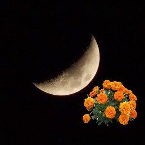 Когда сажать бархатцы по лунному календарю