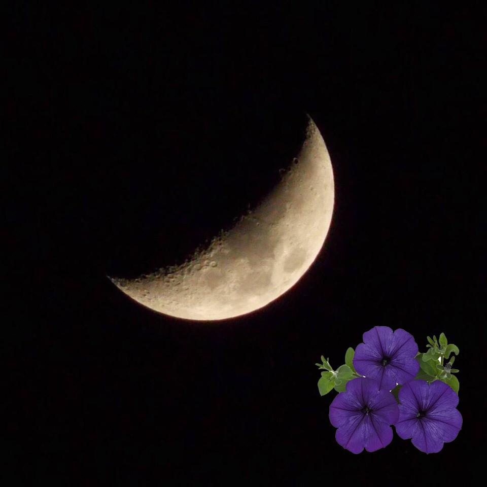 Сроки посадки петунии на рассаду по лунному календарю