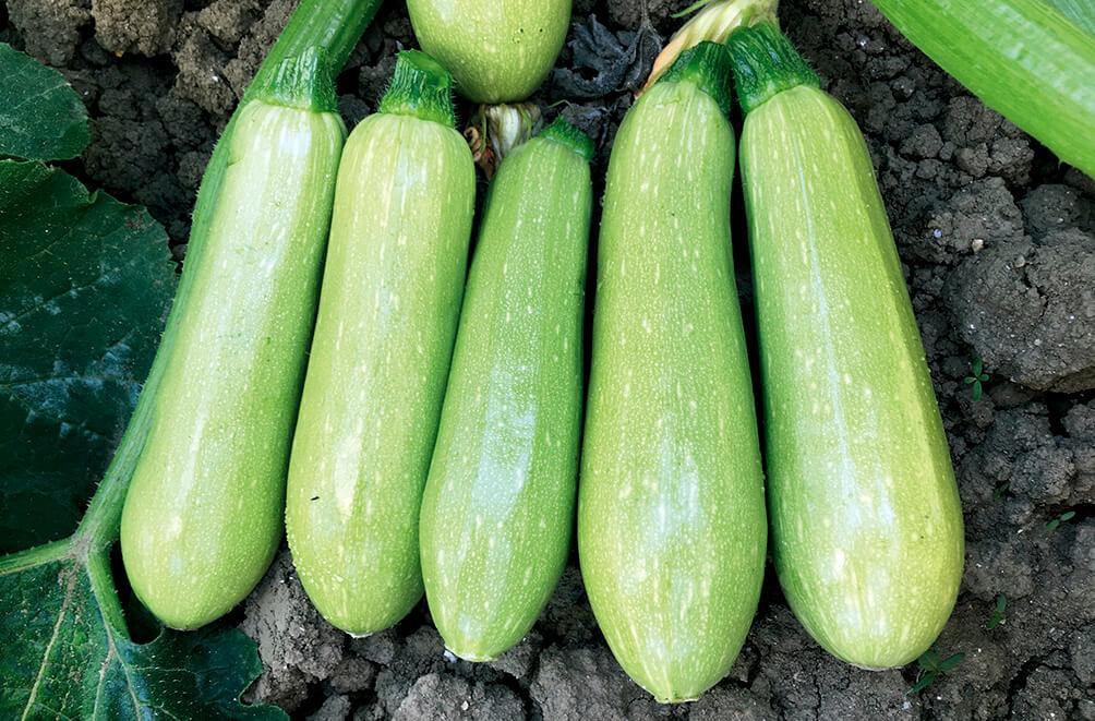 Сроки посадки кабачков на рассаду и в открытый грунт в 2020 году