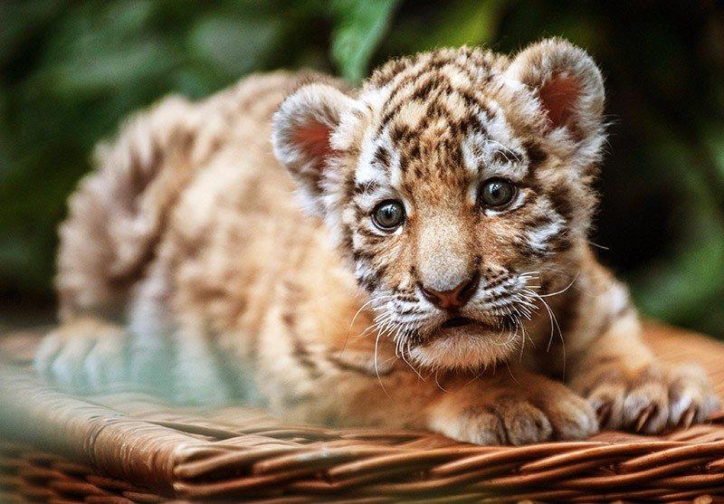 Картинки с символом года 2022 - Тигром