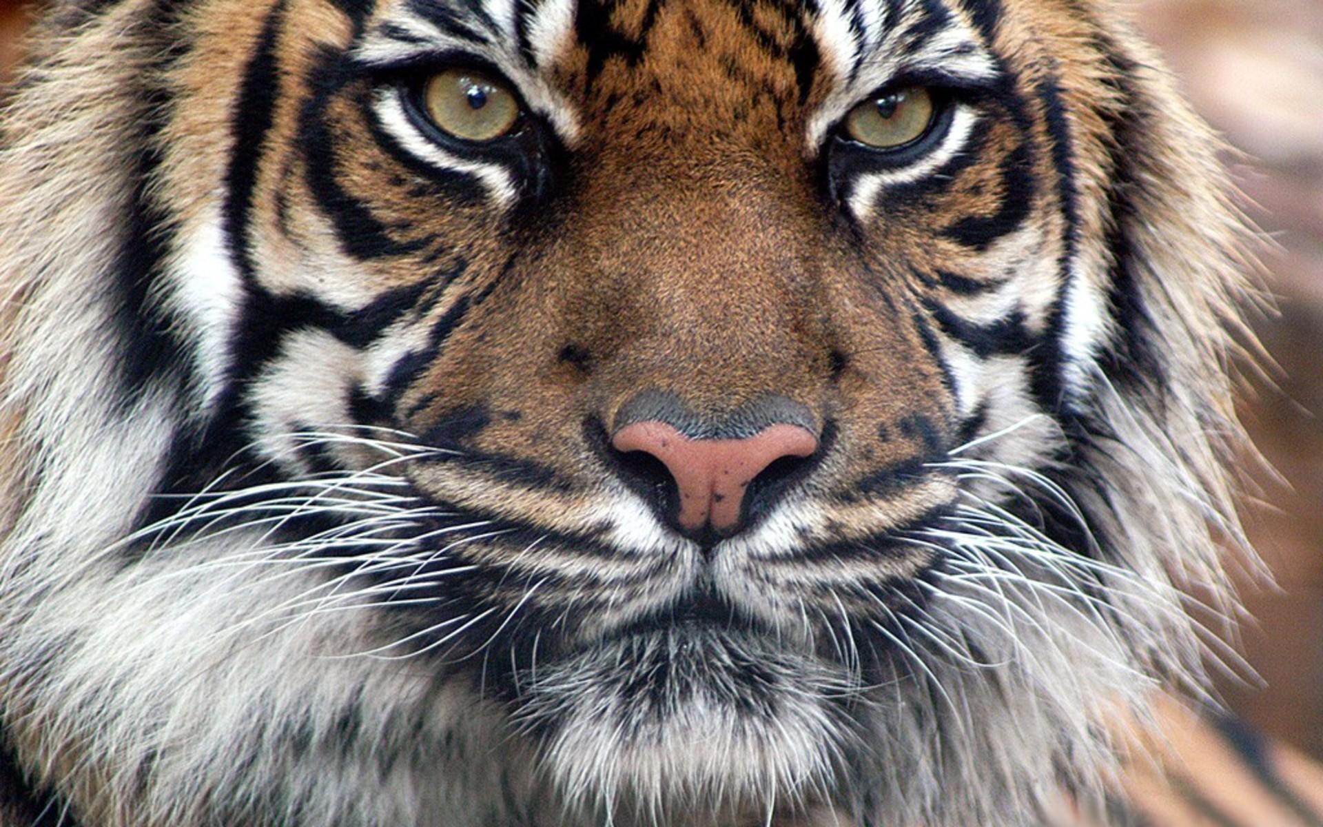 Обои с символом года 2022 - Тигром