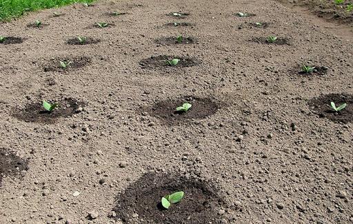 Обработка земли после заражения фитофторой