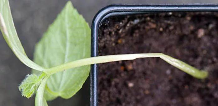 Картофельный клубень, пораженный нематодой