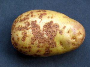 Фитофтора на клубне картофеля