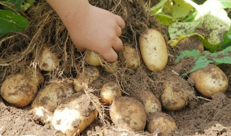 Сорта картофеля, устойчивые к фитофторе