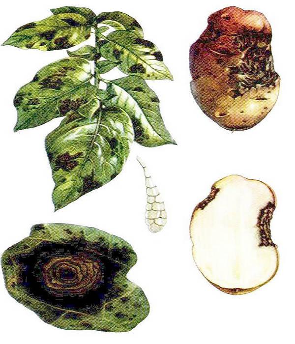 Альтернариоз картофеля