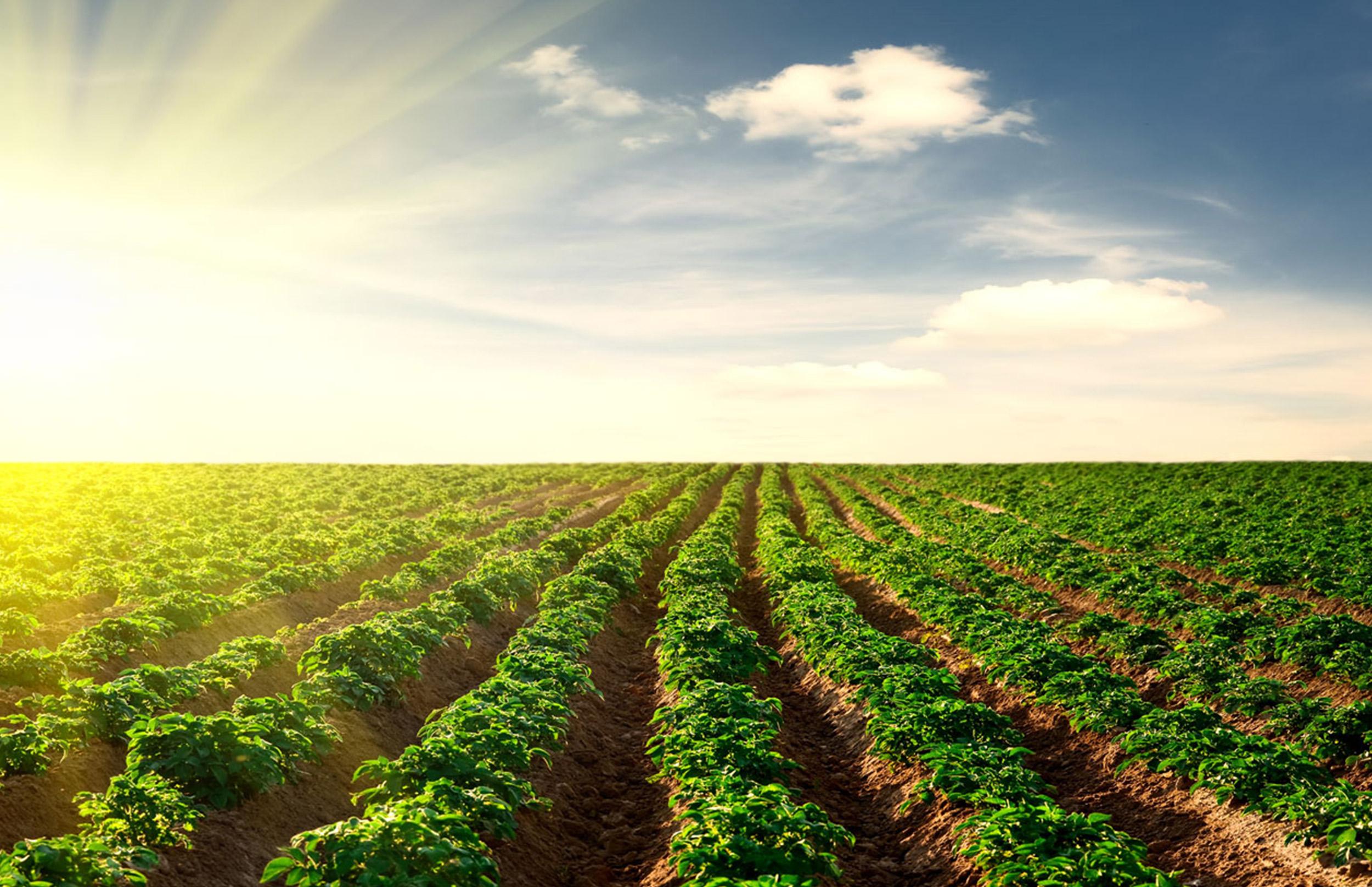 Профилактика альтернариоза картофеля