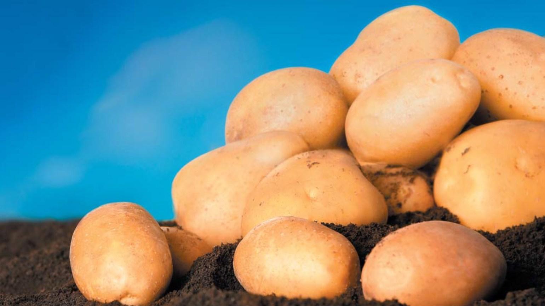 Сорта картофеля, устойчивые к альтернариозу
