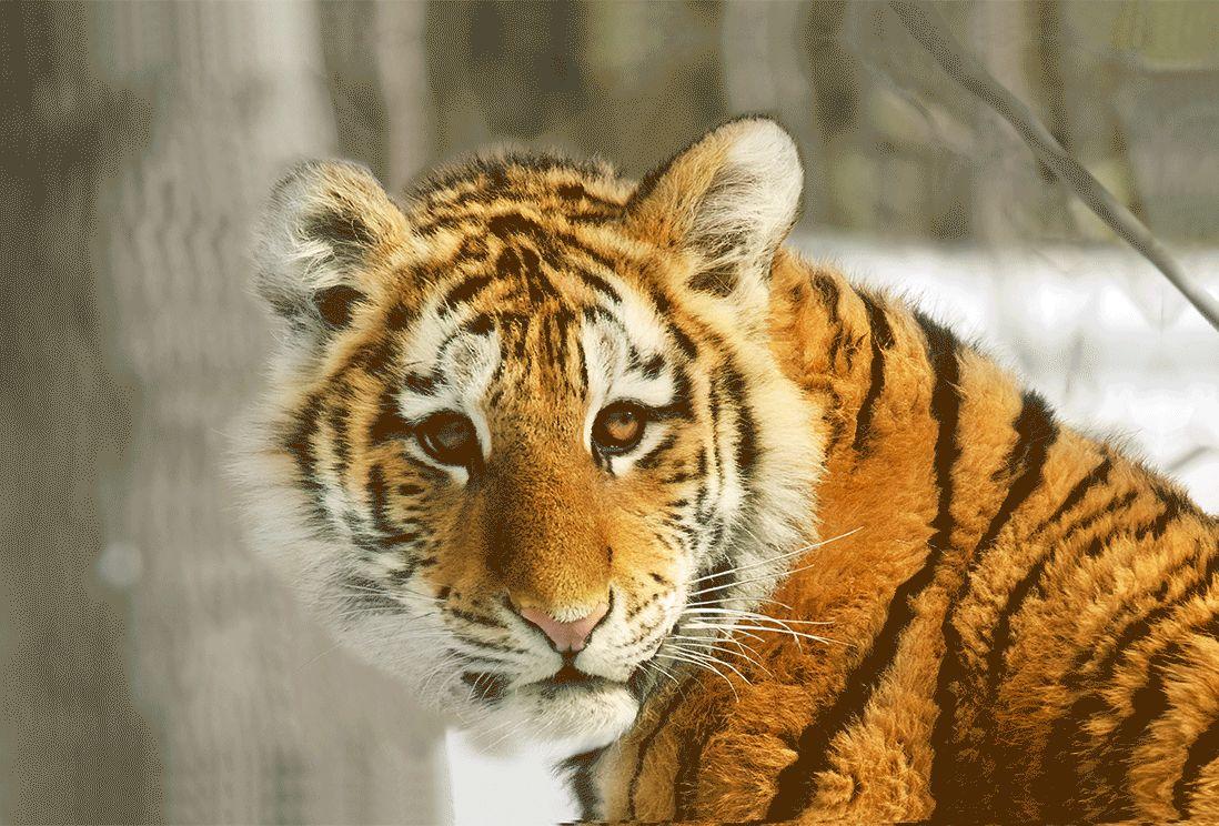Новогодние гифки с символом года 2022 - Тигром
