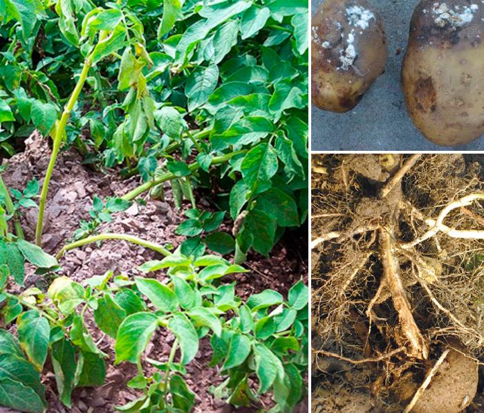 Признаки фузариоза картофеля