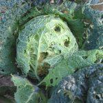 Как эффективно бороться с тлёй на капусте