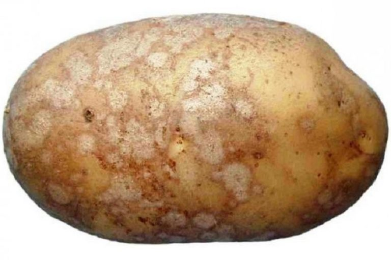 Симптомы и признаки парши картофеля