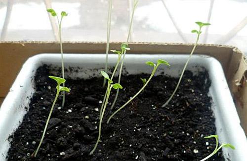 Какие болезни поражают рассаду на подоконнике