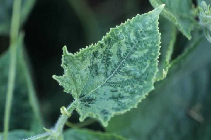 Зелёная мозаика на огурцах