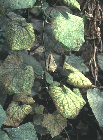 Мозаичный вирус на огурцах