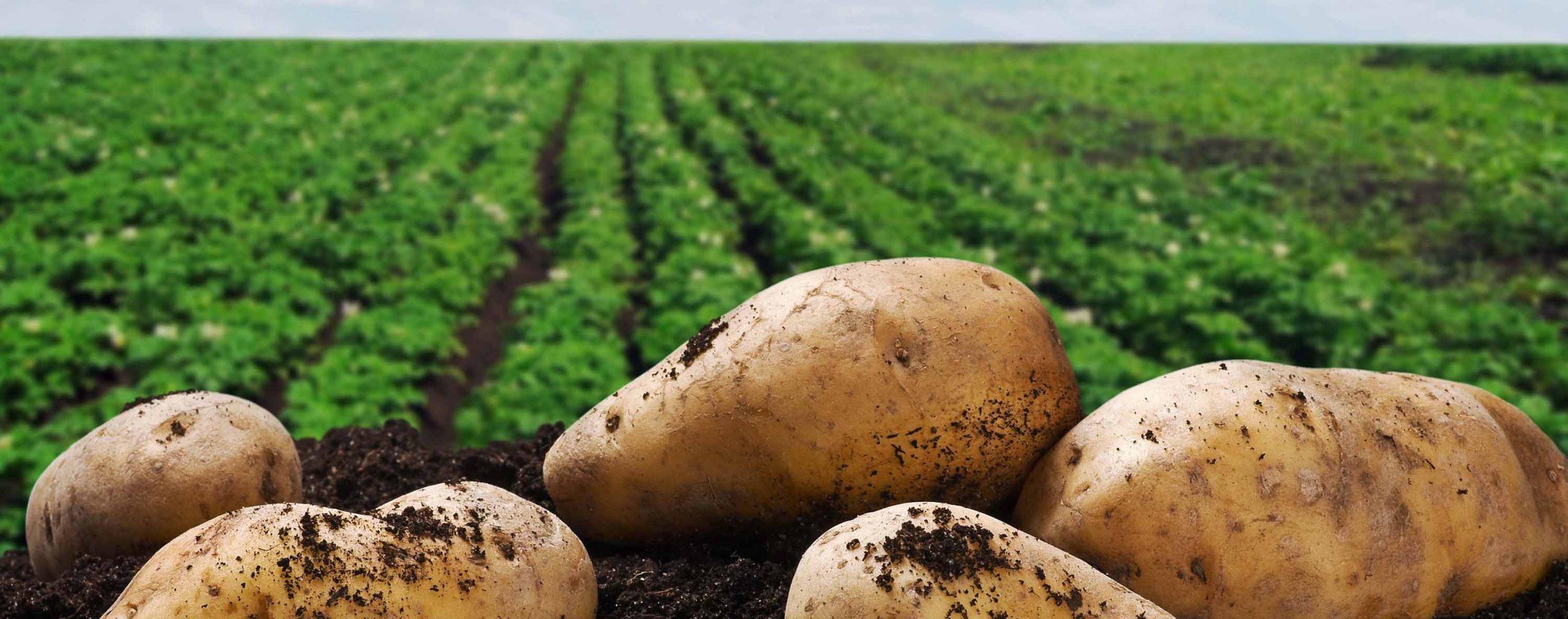 Виды гнили картофеля в земле и при хранении: как бороться