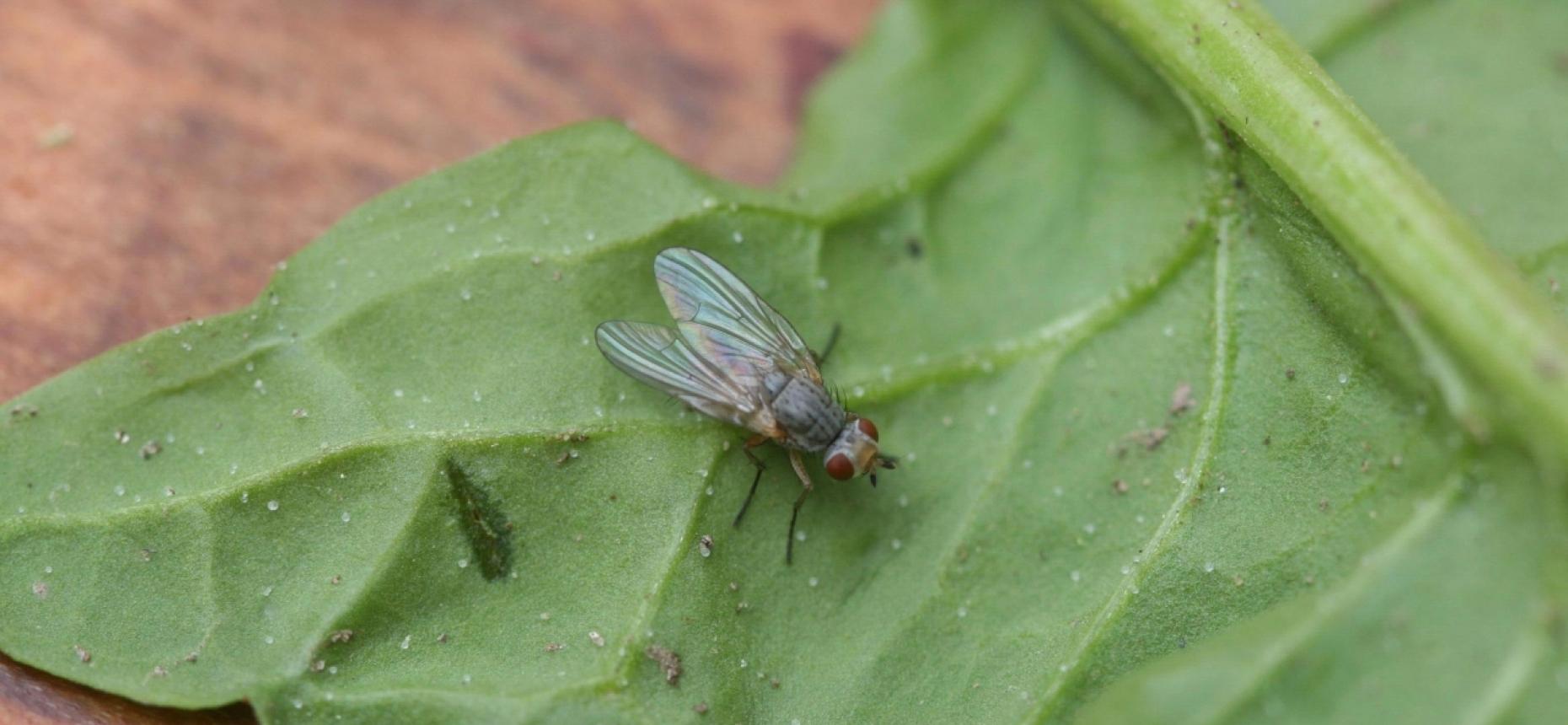 Опасный вредитель – капустная муха