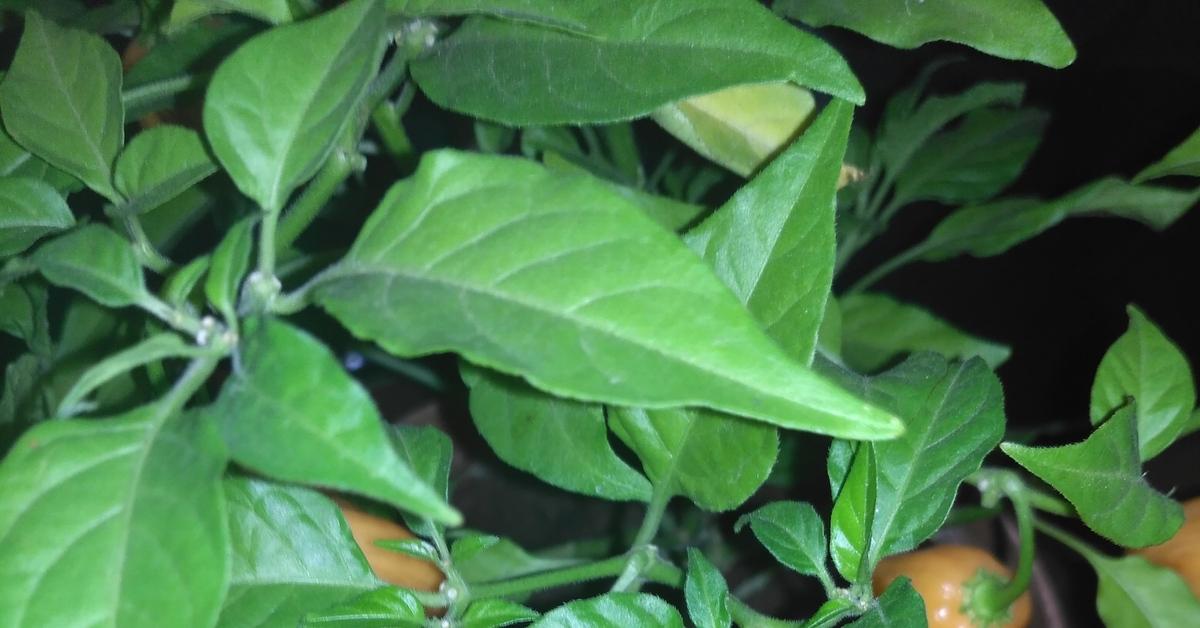 Чтобы вырастить перцы, нужно своевременно проводить профилактику и защиту от болезней