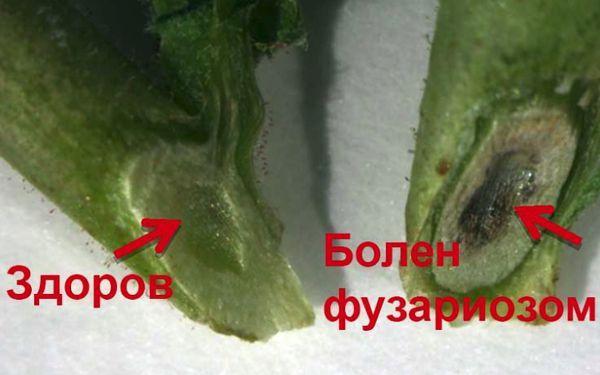 Фузариоз (увядание) огурцов в теплице и грунте: фото и лечение