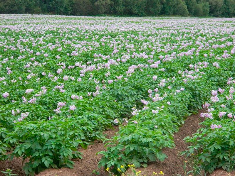 Основные причины развития болезней картофеля