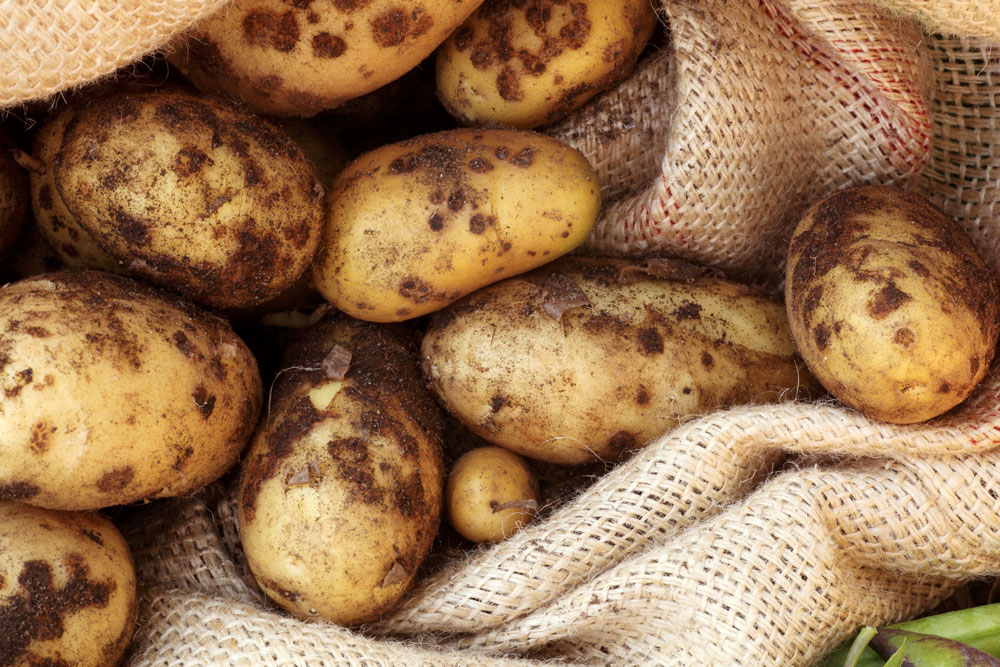 Чёрная парша картофеля