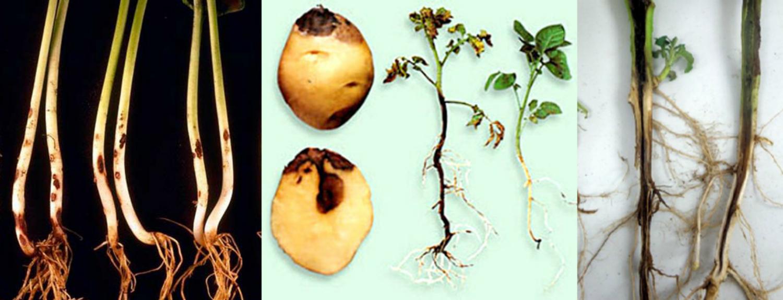 Черная ножка у картофеля