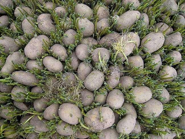 Меры профилактики болезней картофеля