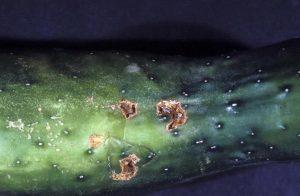 Кладоспориоз огурцов - как лечить