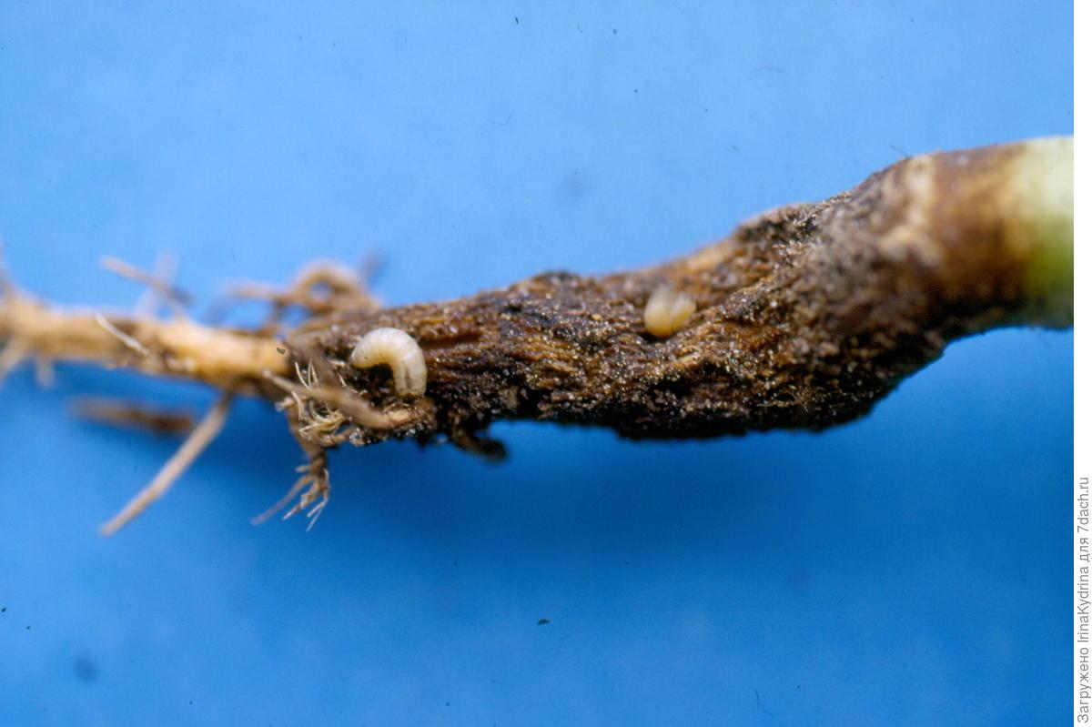Личинки капустной мухи