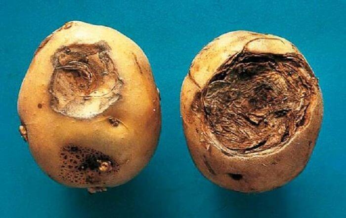 Фомоз (черная пятнистость) картофеля