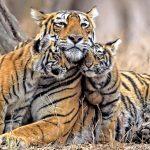 Календари с Тигром на Новый 2022 год