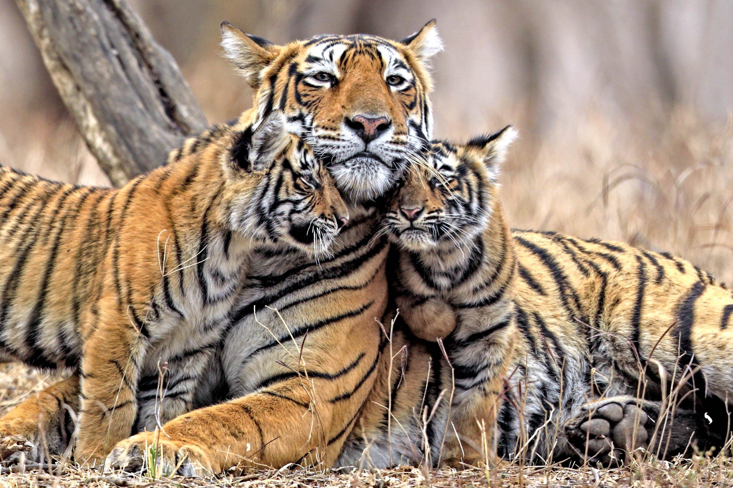 Фото с Тигрицами и Тигрятами