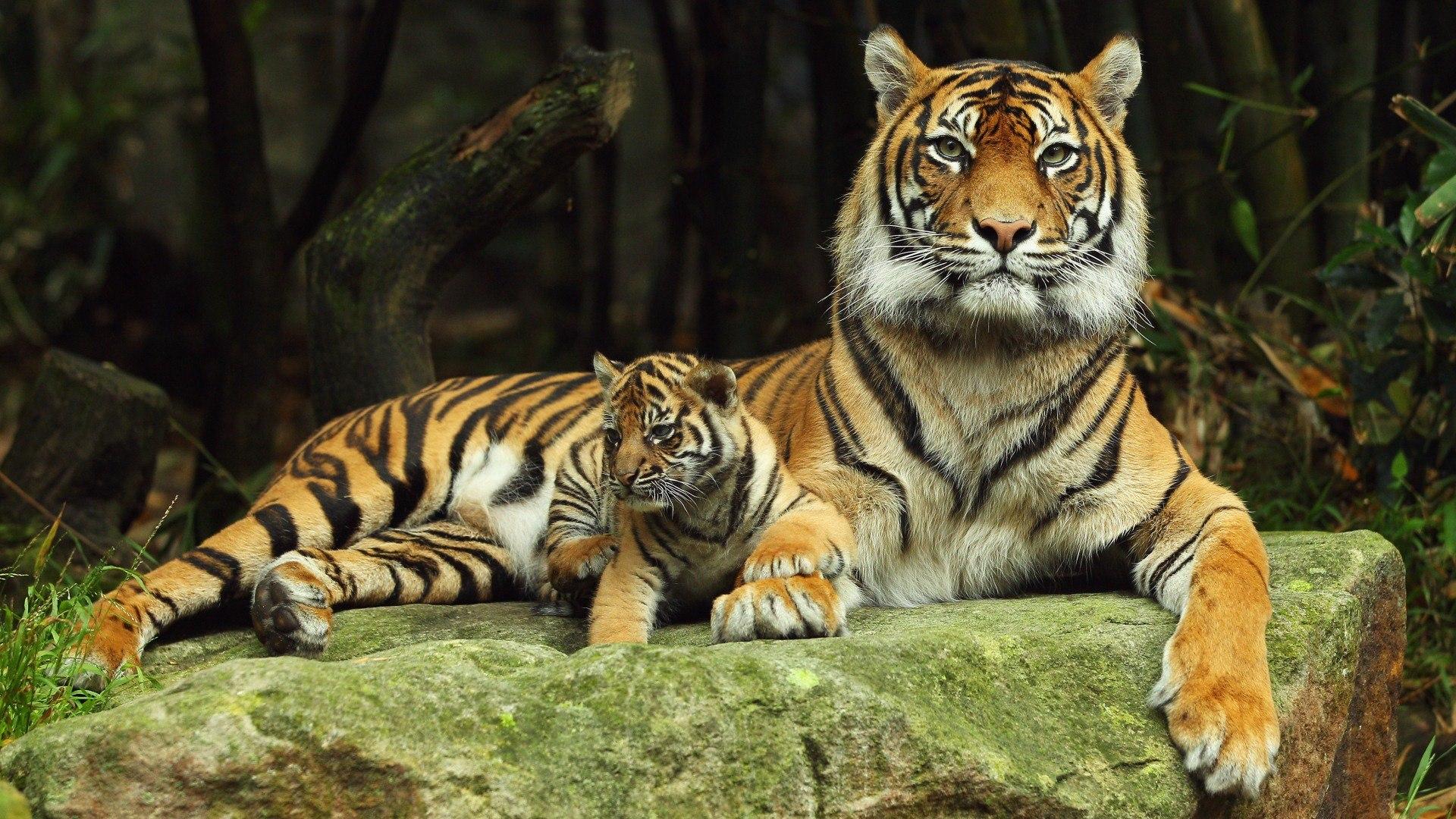 Фото с Тигром на рабочий стол