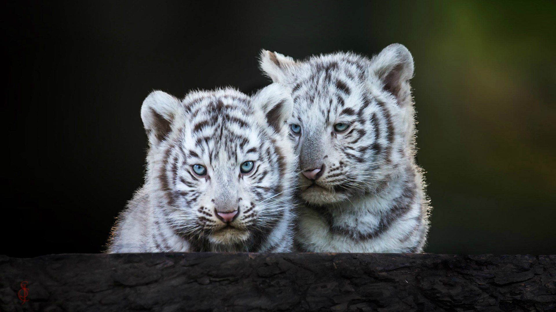 Обои с милыми тигрятами на рабочий стол