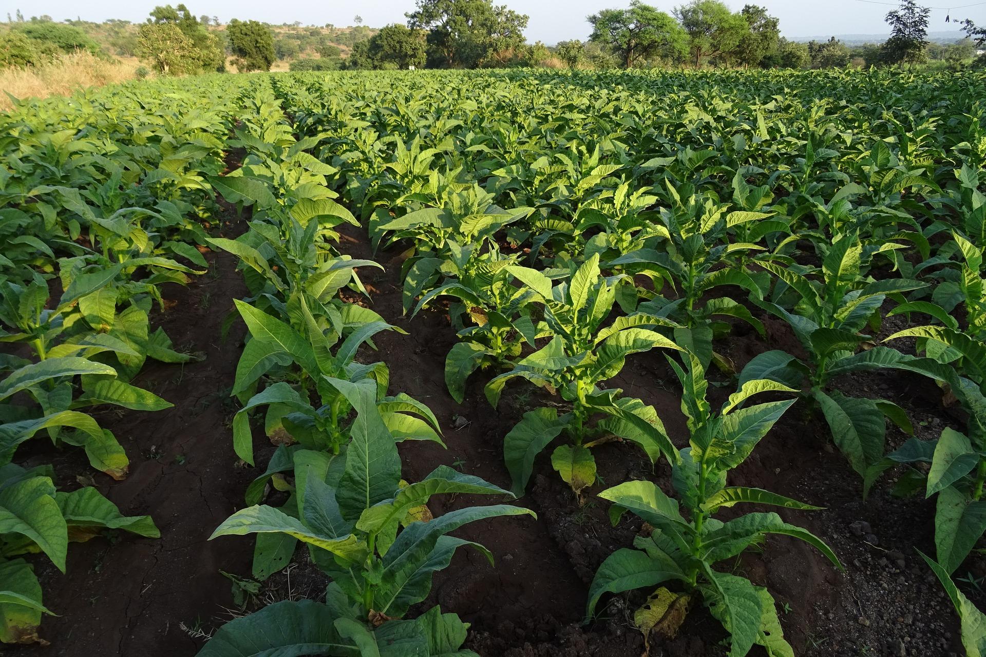 Как смягчить табак