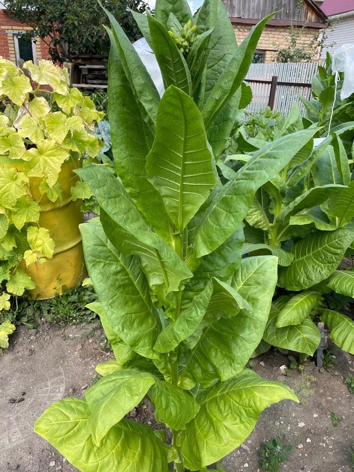 Выбираем растения для получения семян табака