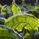 Что делать с недозрелыми (зелёными) листьями табака
