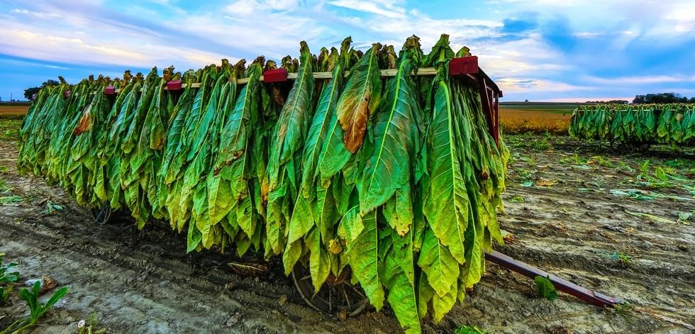 Как уменьшить крепость табака