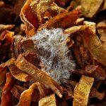 Плесень на табаке - можно ли курить?