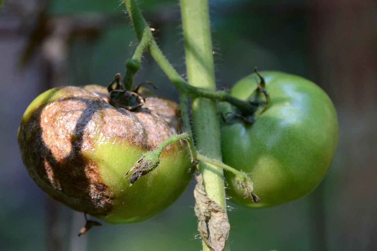 Стеблевая гниль томатов - причины, лечение, фото и профилактика