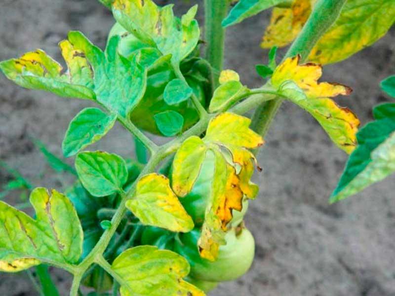 Фузариозное увядание (фузариоз) томатов - описание, лечение, фото
